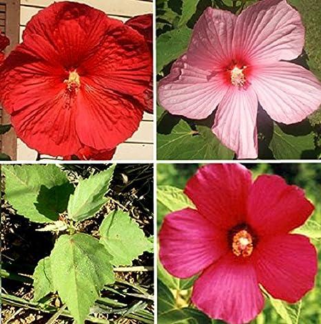 Amazoncom 55 Seeds Of Hardy Hibiscus Mix White Fuschia