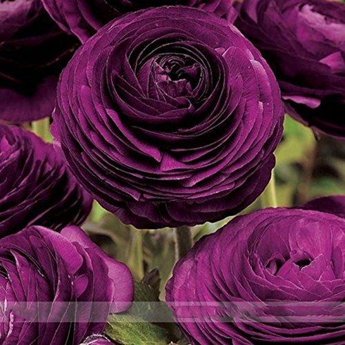 Nianyan purple Ranunculus Picotee Flamenco - Persian Buttercup Bulbs - 10 XL BULBS (Not Seeds!) - 8+ cm