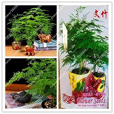 Bonsai True Asparagus Fern Asparagus Setaceus)-Small Bamboo Bonsai Setose Asparagus: Garden & Outdoor