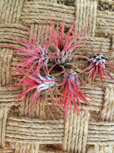 Airplants Tillandsia Ionantha Red From Seed 5 Pack (Grown and Shipped From California)