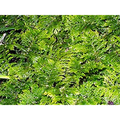 "GARDENS OY VEY Fresh Fern Moss Perfect for Terrariums, Bonsai and Kokedamas 10""x13"" Sheet: Garden & Outdoor"