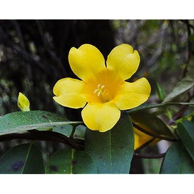 CAROLINA JASMINE gelsemium sempervirens vine rare fragrant flower seed 5 SEEDS : Garden & Outdoor