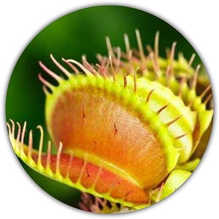 /'50 Samen Dionaea muscipula fleischfressende Pflanze Venusfliegenfalle,