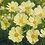 "M-Tech Mall Rare Cosmos Flower"" Xanthos"" Ornamental Flower Seeds (30 Seeds for Growing)"