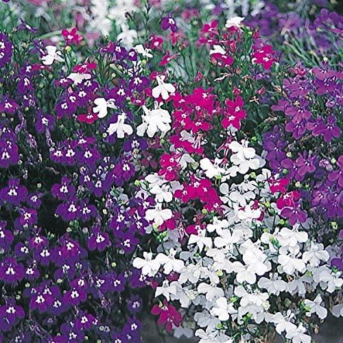 【メール便配送】国華園 種 花たね ロベリア混合 1袋(60mg)【※発送が株式会社 国華園からの場合のみ正規品です】