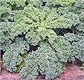 Kale Seed, Dwarf Siberian, Organic, Heirloom, Non GMO, 50+ Seeds