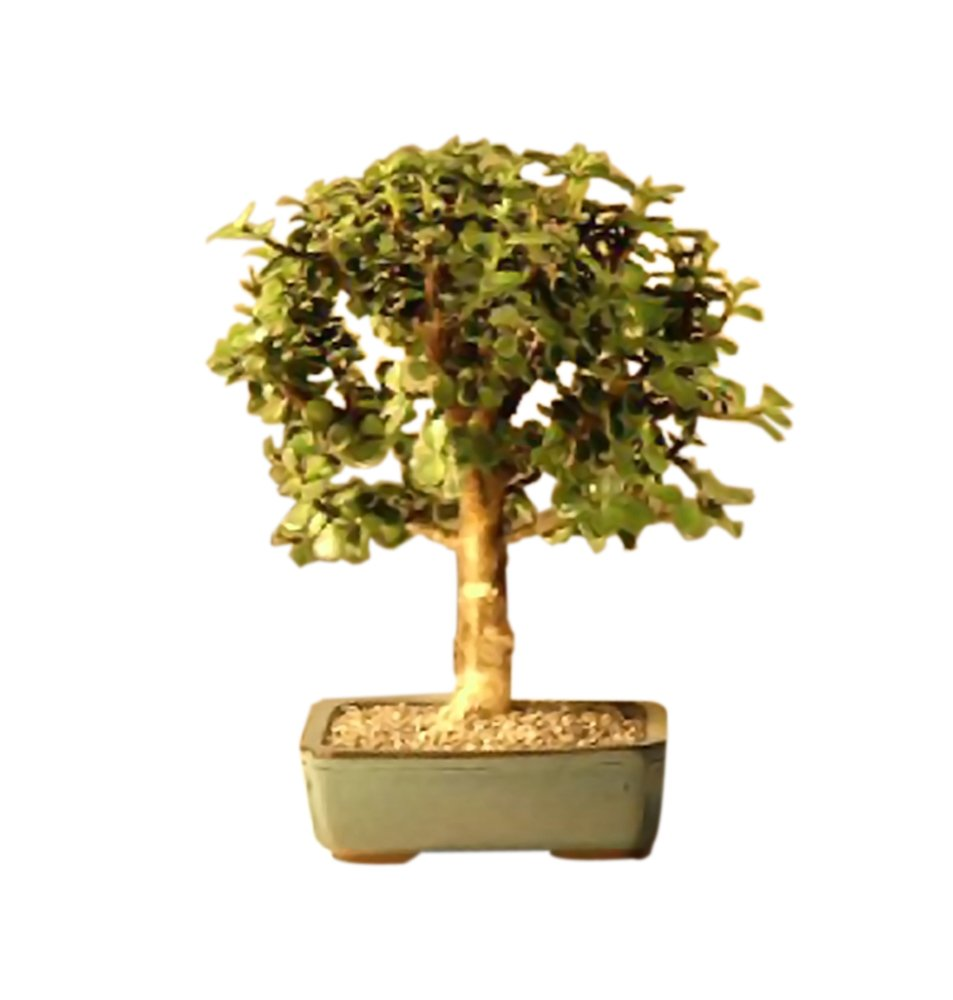Bonsaiboy Baby Jade Bonsai Tree - Medium Portulacaria Afra