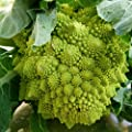 Organic Romanesco Broccoli Seeds - stunning apple-green whorled heads!!