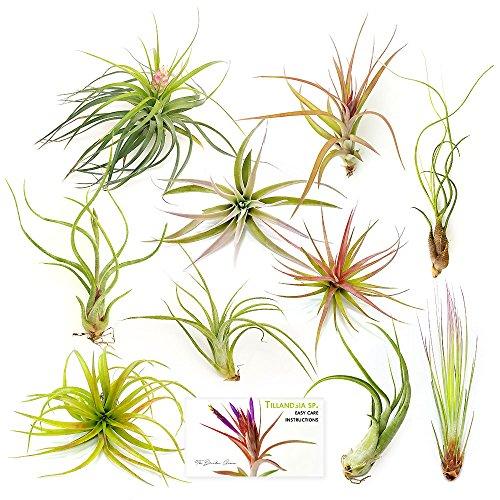 Drunken Tillandsia Plants 10 Pack Assorted