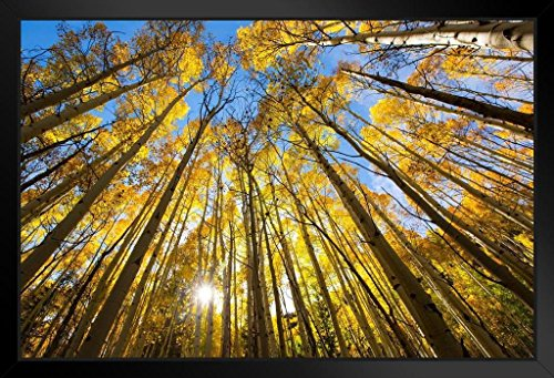 Trees Changing Colors in The Fall Aspen Colorado Photo Art Print Framed Poster 20x14 inch