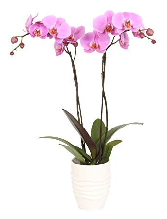 Amazon.com : Color Orchids 5IN Purple Phalaenopsis Orchid, 5IN ... on dracula orchid, mokara orchid, bright purple orchid, oncidium orchid, phalaenopsis bellina, maxillaria orchid, moth orchid, miltonia orchid, giant orchid, yellow orchid, flowers orchid, cattleya orchid, doritis orchid, dendrobium orchid, vanda orchid, vanilla orchid, jewel orchid, most rare orchid, ficus elastica, cymbidium orchid, most exotic orchid, paphiopedilum orchid,