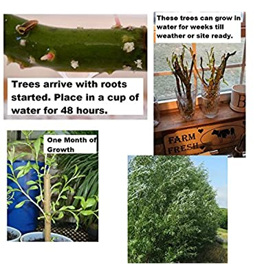6 Black Willow Trees Cuttings - Easy to Grow - Very Attractive and Fast Growing Shade or Privacy Trees - 6 Live Trees : Garden & Outdoor