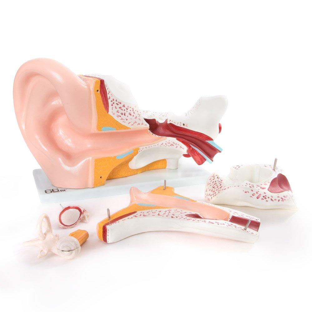 66Fit Anatomisches Riesen Ohr Modell - medizinische Ausbildungshilfe ...