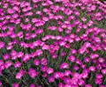 50 Cheddar Pinks Seeds, Pink Dianthus, Perennial Flower, Heirloom Ground Cover 50ct
