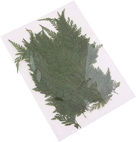 Pinhoollgo 40 Pcs Natural Real Pressed Dried Leaves Nature Ferns Leaves Plant for Craft Jewelry Card Making DIY Scrapbooking,9-12cm// 3.5-4.7 inch