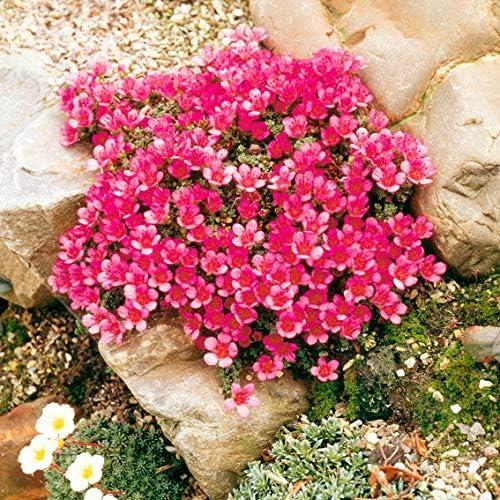 Blumensamen winterhart mehrj/ährig f/ür den Garten und Balkon 100pcs Rarit/äten Rotviolettbl/ühendes Blaukissen Bl/ütenwiesen Bodendecker Keland Garten Immergr/üne Staude