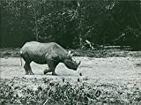 Vintage photo of Vintage photo of a wild rhinoceros, in a Zoo Thoiry that was managed by Count Antoine de la Panouse.