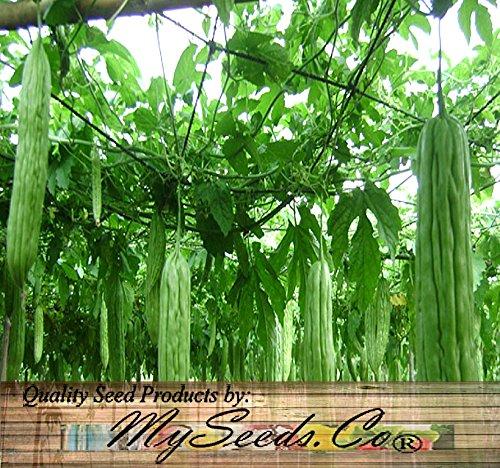BIG PACK - (50) Japanese Extra Long BITTER MELON Seeds - Non-GMO Seeds by MySeeds.Co (BIG PACK - Japanese Bitter Melon LONG)