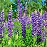 Wild Perennial Lupine Seeds - Ounce, Blue/Purple Flowers