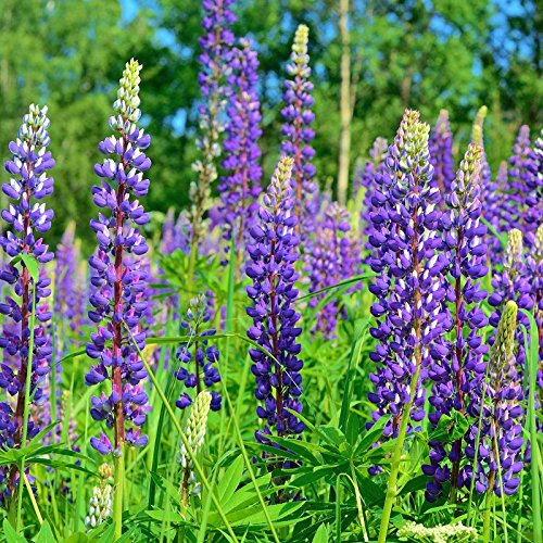 Wild Perennial Lupine Seeds - Packet, Blue/Purple Flowers