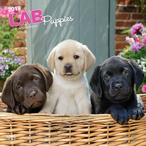 Lab Puppies 2019 12 x 12 Inch Monthly Square Wall Calendar, Animals Dog Breeds Retriever Puppies (Multilingual Edition)