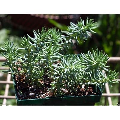 Sedum Montanum SSP.Orientale (100 Seed) Unusual Evergreen Sedum, Drought Resistant : Garden & Outdoor