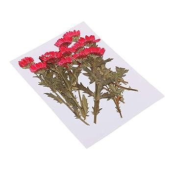 Magideal 12 Stück Echte Getrocknete Blumen Handmade Flowers