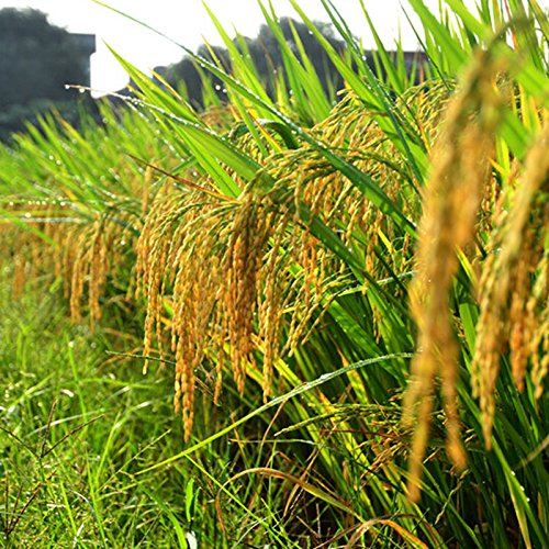 100 seeds/pack High-quality rice seeds SVI