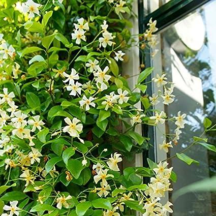 2 Jazmín estrellado - Jazmín de leche: Trachelospermum jasminoides ...