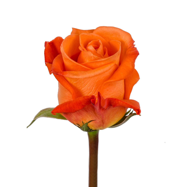 Farm Fresh Natural Orange Roses - 20 in - 25 stems