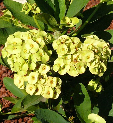 Golden Crown of Thorns Plant - Euphorbia - RARE! - 5'' Pot