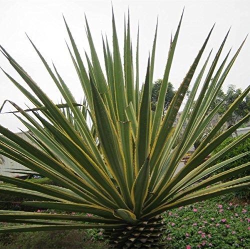 40 sisal hemp Agave tequila genera Leaf fiber crop seeds