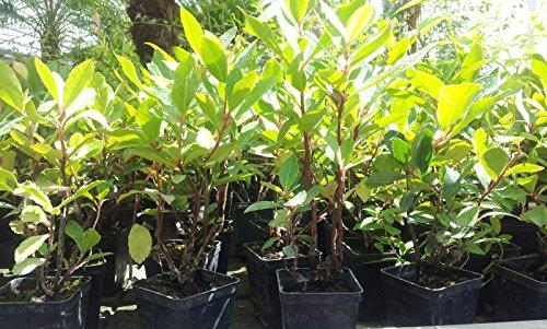 20 Piante Lauroceraso da giardino siepi siepe vaso 7 (20 vasi ...