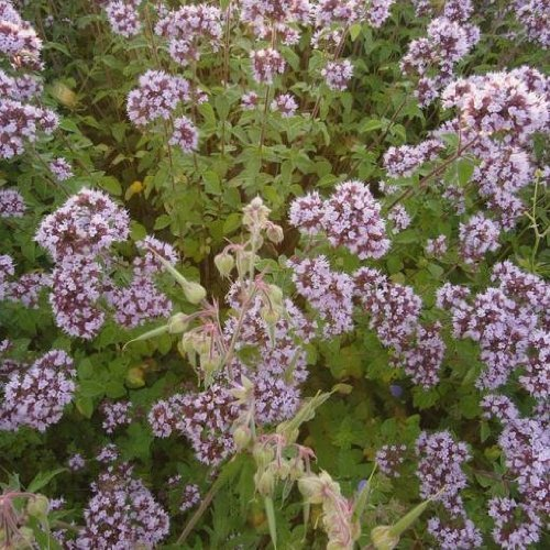 Wildflower 5000 Seeds Wild Marjoram