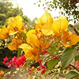 ADB Inc Yellow Bougainvillea Seeds Perennial Flowering Plants Potted Charming Chinese Flowers 100 Particles/lot