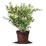 BRIDAL WREATH SPIREA - Size: 1 Gallon, live plant, includes special blend fertilizer & planting guide