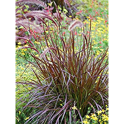 Perennial Farm Marketplace Pennisetum s. 'Rubrum' (Purple Fountain) Ornamental Grass, Size-#1 Container, Maroon Leaves : Garden & Outdoor