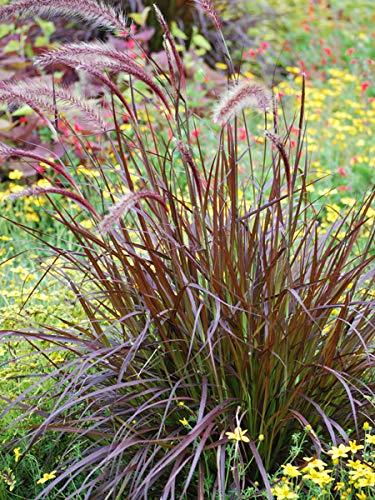 Perennial Farm Marketplace Pennisetum s. 'Rubrum' ((Purple-Leaved Fountain) Ornamental Grass, Size-#1 Container, Maroon