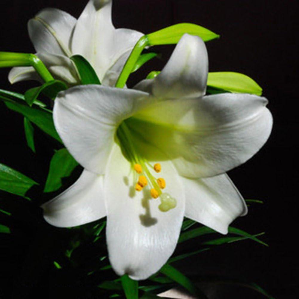 lamta1k 50 Unids Lirio Bombillas Flor Bonsai Calidad de Semilla y Alta tasa de Supervivencia creciendo r/¨/¢pidamente Crecimientos r/¨/¢pidos Plantaci/¨/®n de Flores Lilium Home Garden Decor