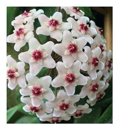 Amazoncom Hoya Carnosa White Hindu Rope Wax Plant 10 Seeds