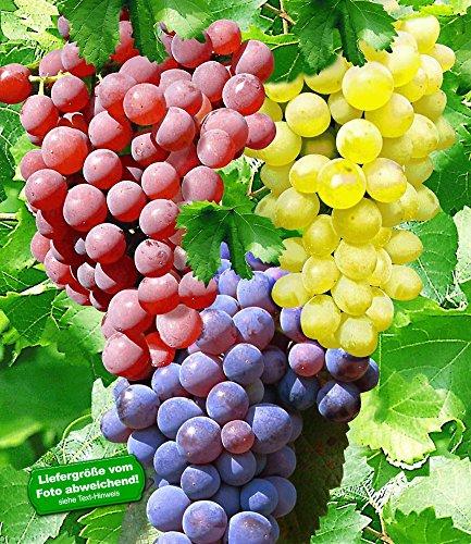 BALDUR-Garten Kernlose Tafel-Trauben-Kollektion Weinreben Sortiment kernlos, 3 Pflanzen New York, Vanessa, Venus
