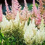 Astilbe - Showstar Flower Garden Seed Mix - 100 Seeds - Perennial Flower Gardening Seed Blend