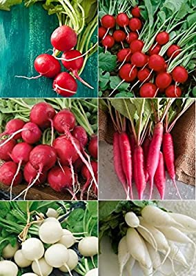 David's Garden Seeds Radish Seed Collection SLP135 (Multi) 6 Varieties 2000 Plus Seeds (Open Pollinated, Heirloom, Organic)