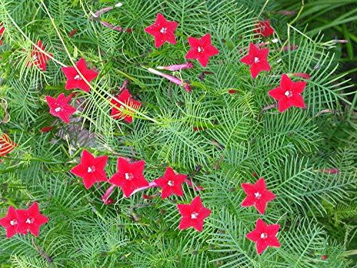 PlenTree Cardinal Vine, Pack of 100 Seeds Hummingbird Vine, Cardinal Climber, Cypress -