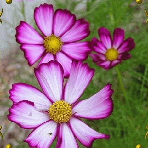 Everwilde Farms - 500 Picotee Cosmos Wildflower Seeds - Gold Vault Jumbo Seed Packet
