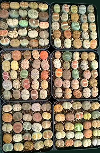 Rare Authentic Lithops Seeds with Germination Guarantee / Bonus Mini Live Lithops / Germination Kit Included / Freshly Harvest Premium Quality / Pack of 25 Seeds ()