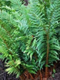 Perennial Farm Marketplace Polystichum polyblepharum ((Tassel) Hardy Fern, Size-#1 Container, Dark Evergreen Shiny Fronds