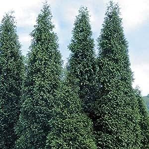 1 Starter Plant of Green Giant Arborvitae