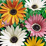 "HOT - Organic Flower Seeds Arctotis""Arlekin"" (Arctotis x hybrida) African Daisy"