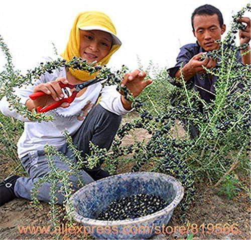Real Black Goji Berries Tree Seeds Chinese Ningxia Goji Berry